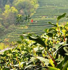 Green and healthy Longjing tea