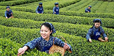 Picking of Longjing Tea