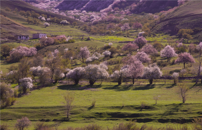 Yili-Apricot-Valley.jpg