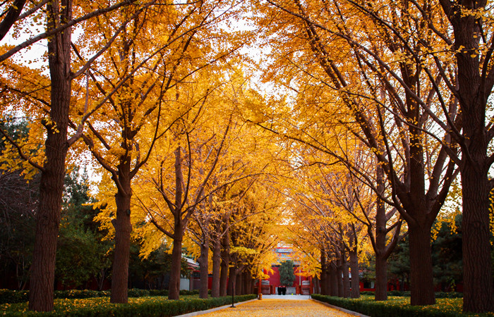 Golden-Gingko.jpg