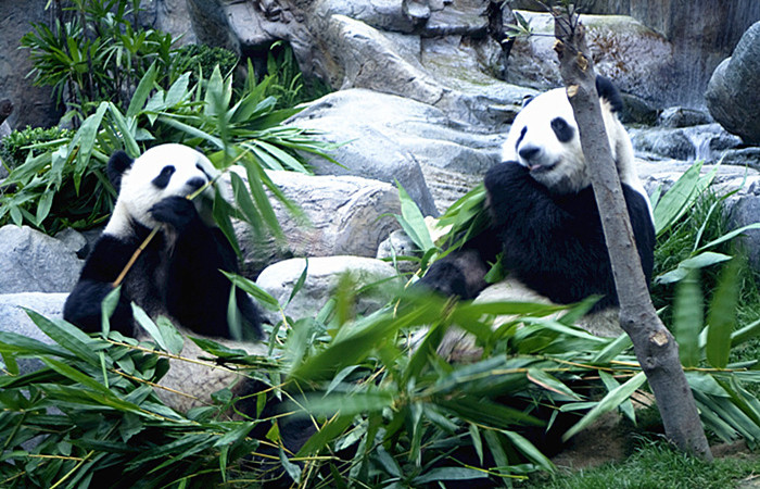 Chengdu-Resech-Base-of-Giant-Panda-Breeding-on-wood-2.jpg