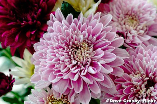 Shanghai-Chrysanthemum-Display.jpg